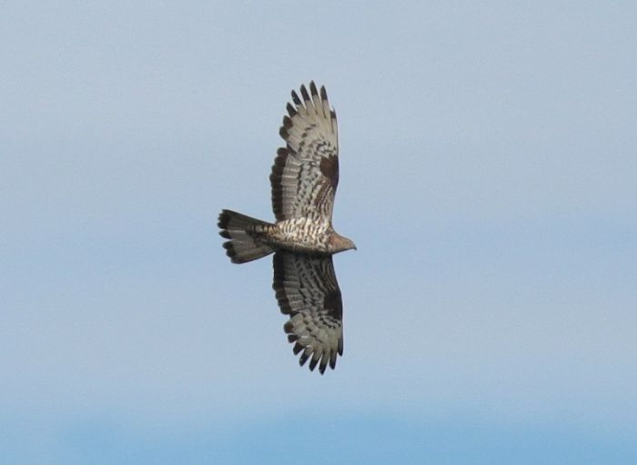 European Honey Buzzard Wykeham Forest August © Richard Baines