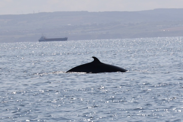 Minke Whale at Staithes © Mike Hessey