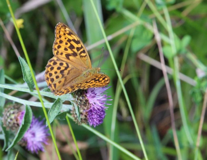 Silver Washed Fritillary © Nick Hall