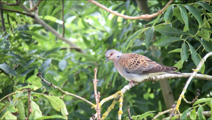 European Turtle Dove at the Mill Inn © Richard Baines