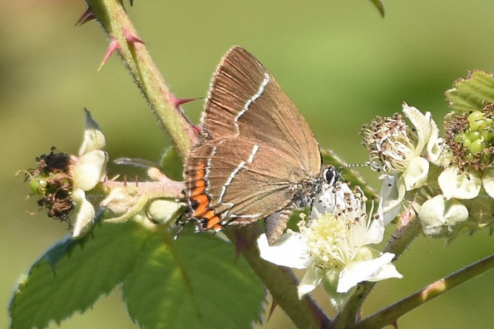 White-letter Hairstreak at Danes Dyke © Andy Hood