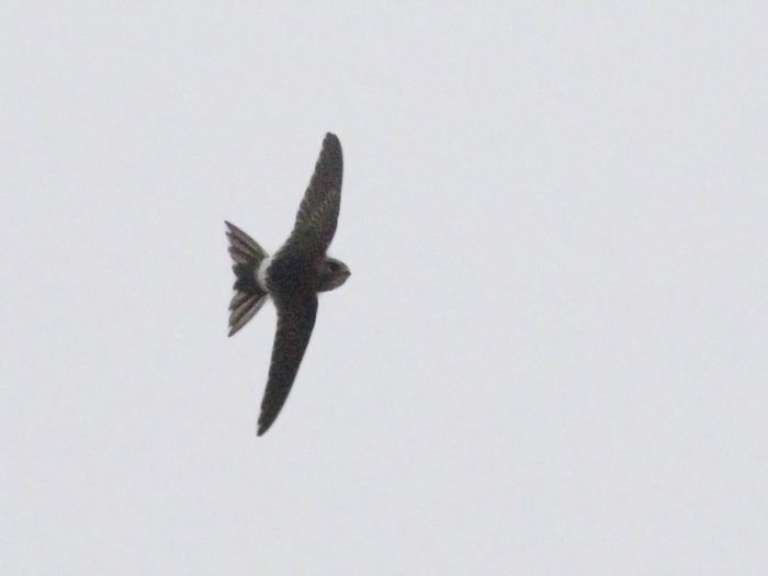 White-rumped Swift at Hornsea © Tim Jones