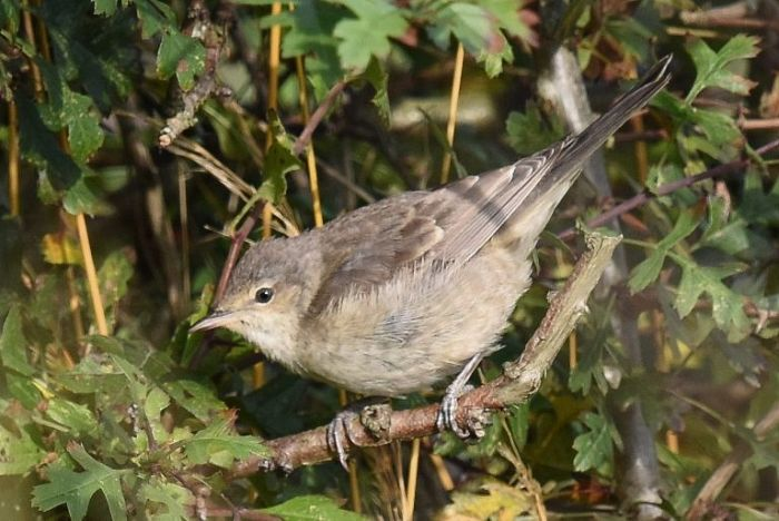 Barred Warbler at Bempton © Andy Hood
