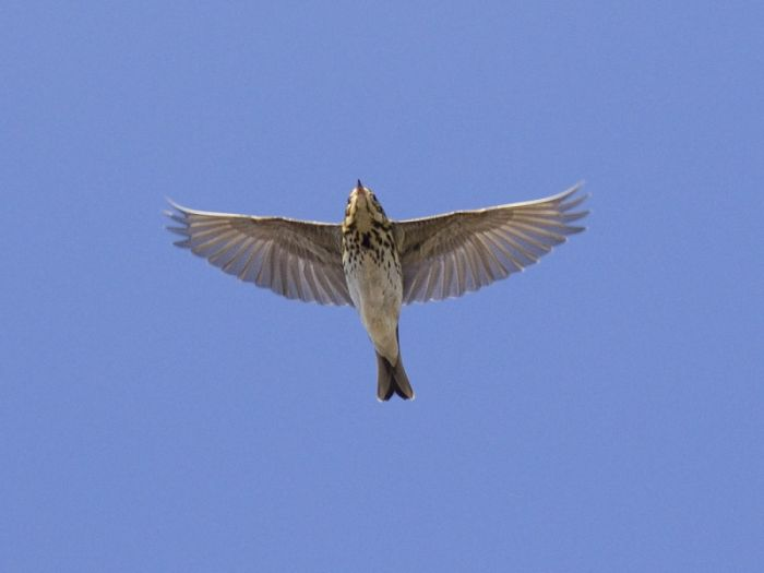 Olive-backed Pipit over Spurn © Tim Jones