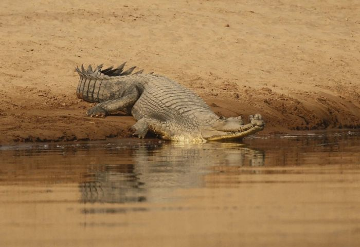 male Gharial on the Chambal River © Richard Baines