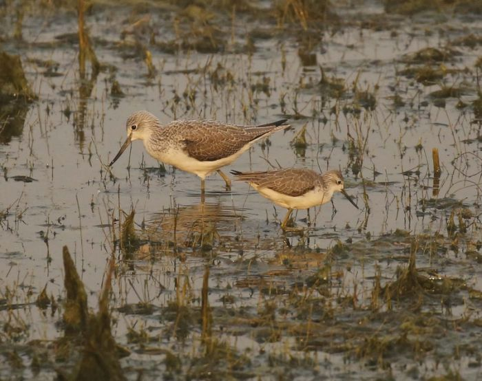 Greenshank & Marsh Sandpiper at at Keoladeo NP © Richard Baines