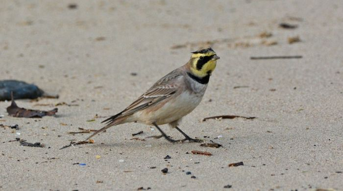 Shore Lark at Marske-by-the-Sea © Damian Money