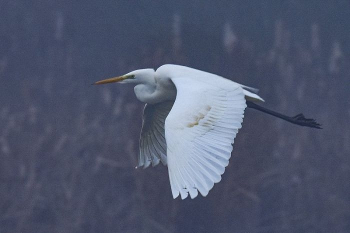 Great Egret © Andy Hood