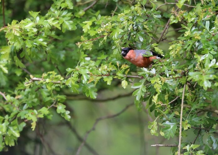 Male Bullfinch © Richard Baines