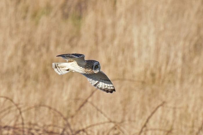 Short-eared Owl at Flamborough © Andy Hood