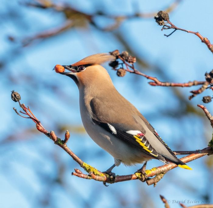 Bohemian Waxwing at Filey © David Eccles