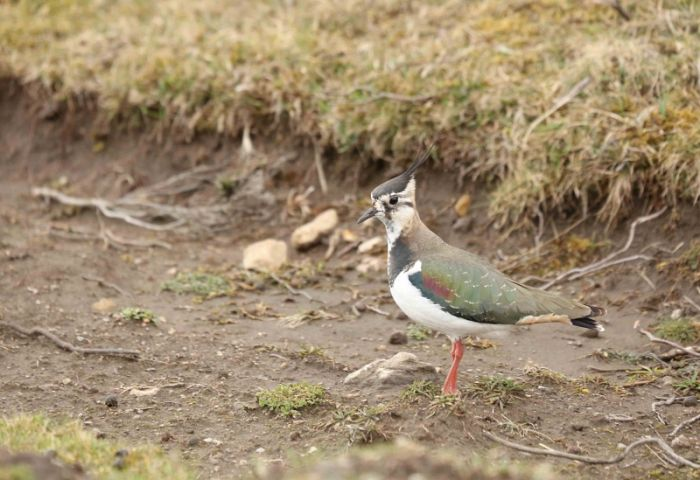 Northern Lapwing © Richard Baines