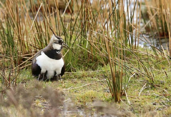 Northern Lapwing with chicks, how many legs can you see? © Richard Baines