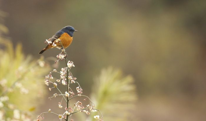 Blue-fronted Redstart © Richard Baines