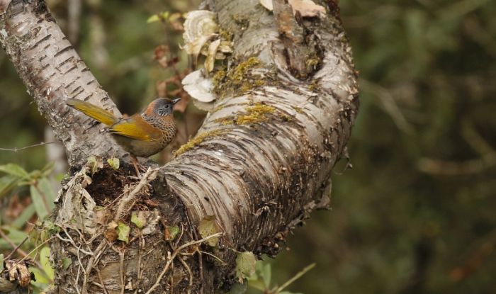 Chestnut-crowned Laughingthrush © Richard Baines
