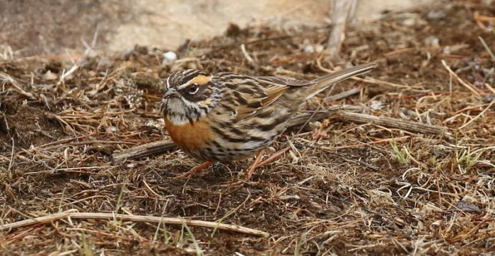 Rufous-breasted Accentor © Richard Baines