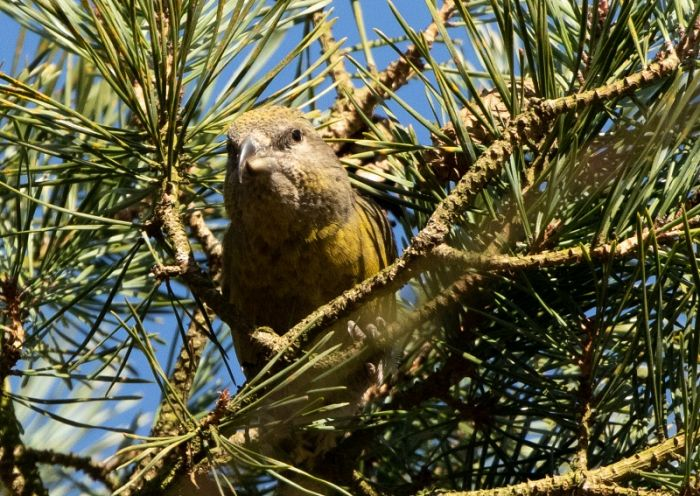 Female Common Crossbill in the Great Yorkshire Forest © Chrys Mellor
