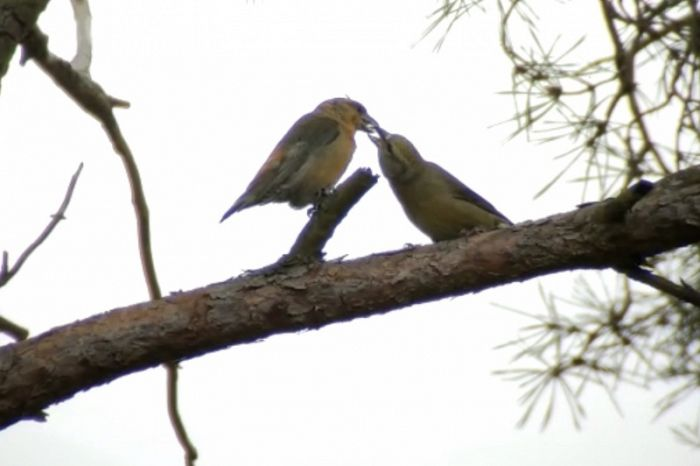 Male & Female Crossbills passing food. A phone-scope grab by Richard Baines and Barry in the Great Yorkshire Forest