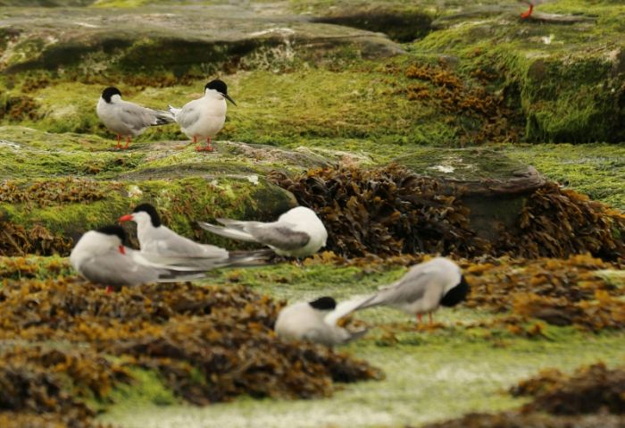 Roseate Tern with Common and Arctic Terns Coquet Island © Richard Baines