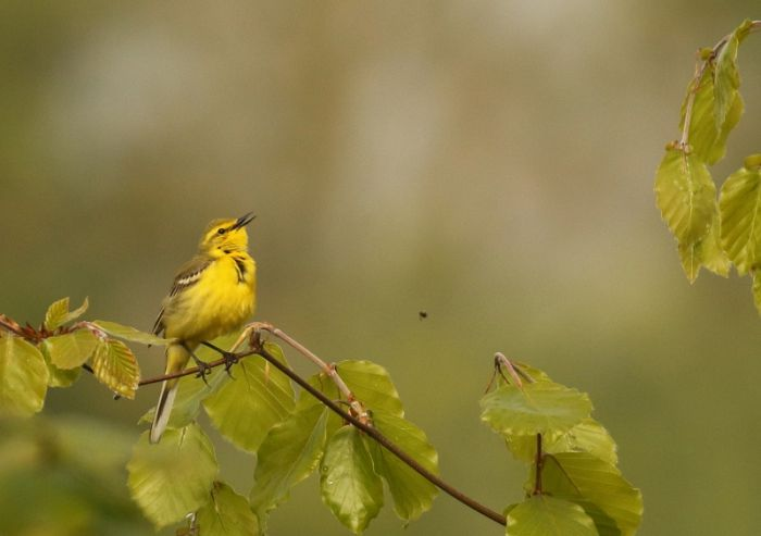 Yellow Wagtail in song © Richard Baines