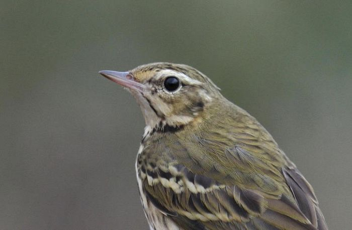 Olive-backed Pipit at Flamborough October 2015 © Lee Johnson