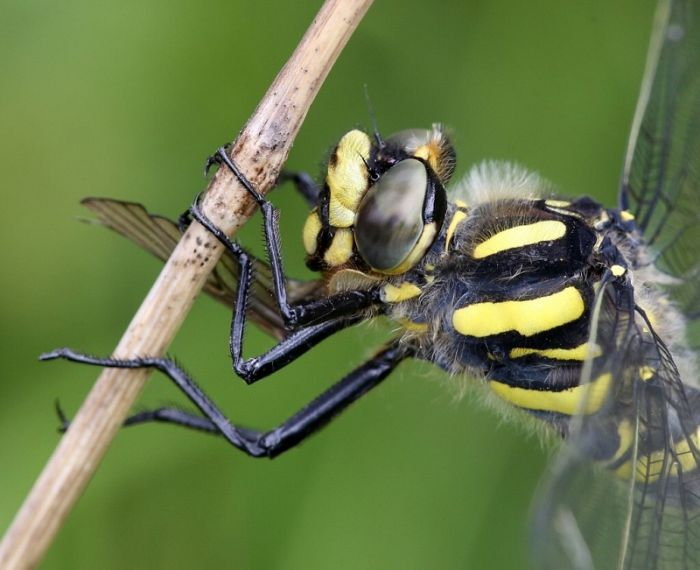 Golden-ringed Dragonfly © Dan Lombard