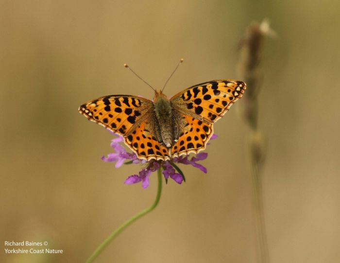 Queen of Spain Fritillary (female) © Richard Baines