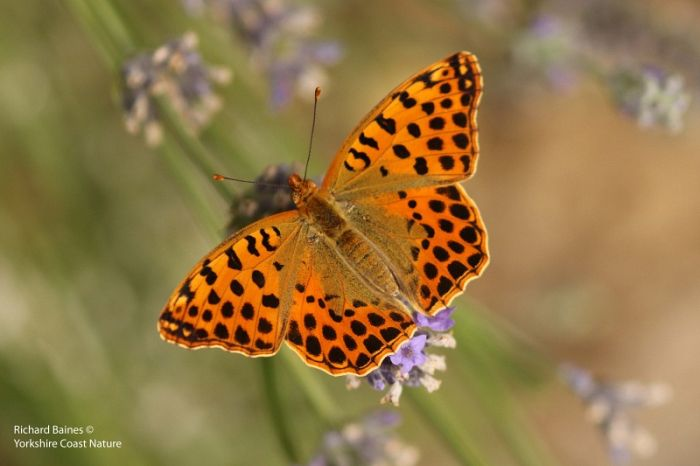 Queen of Spain Fritillary (male) © Richard Baines