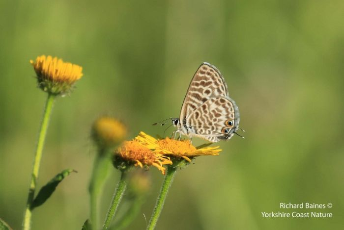 Lang's Short-tailed Blue © Richard Baines