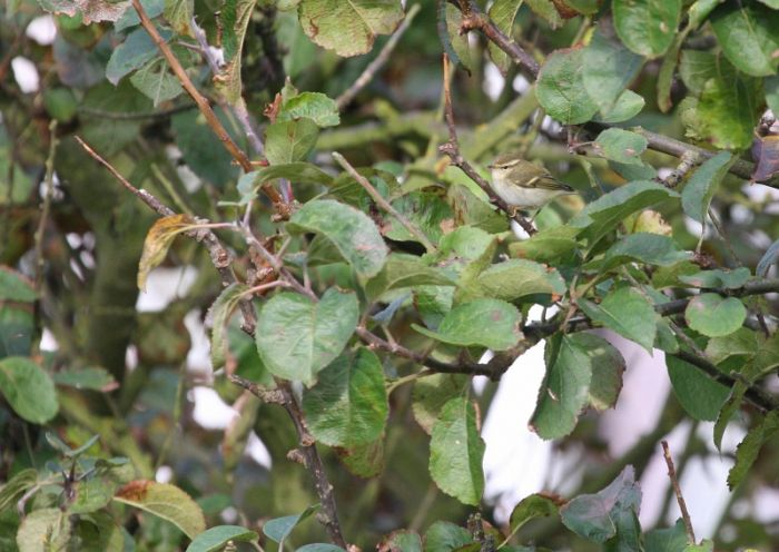 Yellow-browed Warbler at Flamborough © Richard Baines