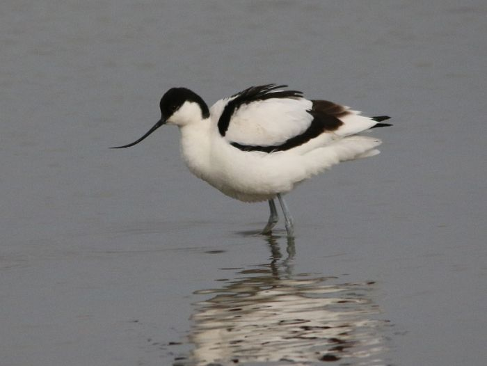 Avocet at North Cave © Maurice Dowson