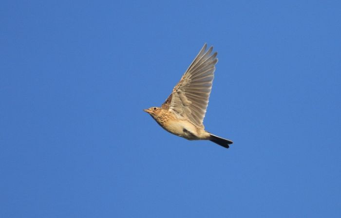Early spring and late autumn are the peak periods for Skylarks © Mark Pearson