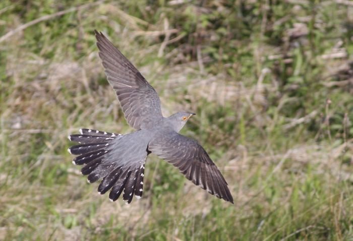 A low-flying Cuckoo is a rare and decreasing sight in spring © Mark Pearson