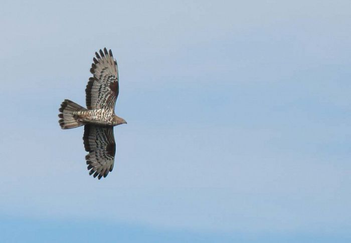 Honey Buzzard North Yorkshire © Richard Baines