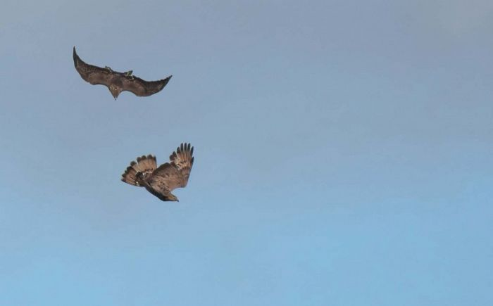 Common Buzzard and Honey Buzzard fight August 2020 © Richard Baines