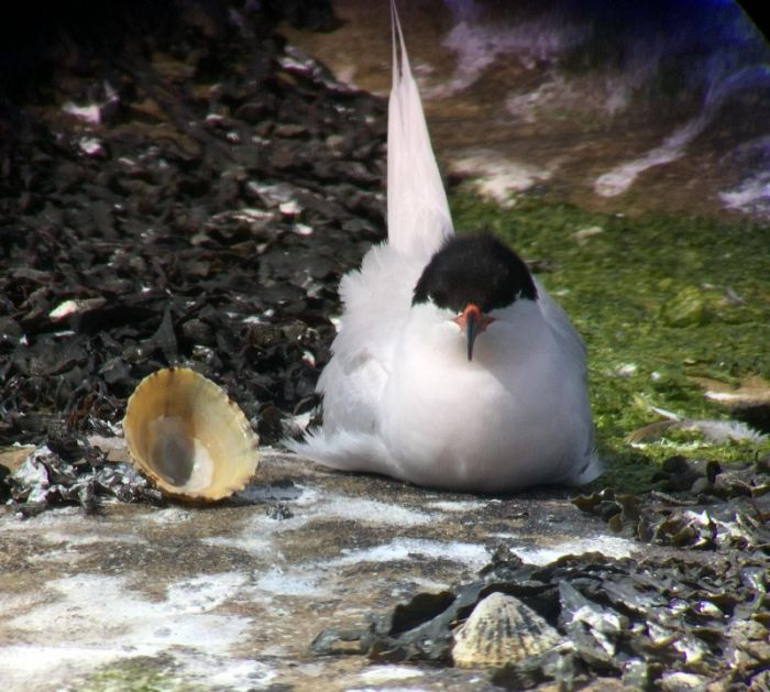 Roseate Tern Coquet Island photo by RSPB